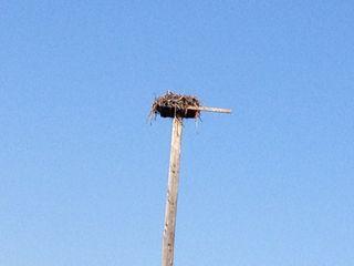 Osprey nest2